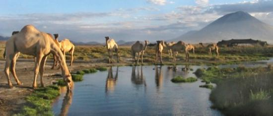 Lake Natron, Tanzania: The resident rescued camel heard come to drink every morning.