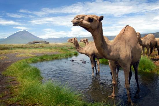 Ngare Sero - Lake Natron Camp: Camels cooling off in the oasis, the dinning tent and the volcano in the background.