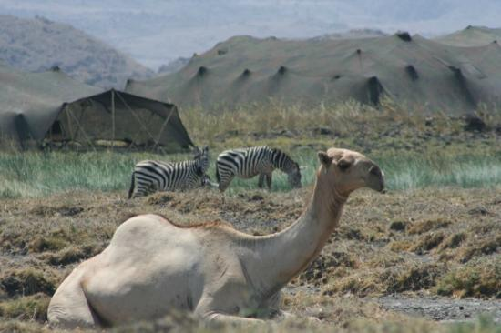 Ngare Sero - Lake Natron Camp : A resting camel at the oasis with zebras and your sleeping tents in the background.