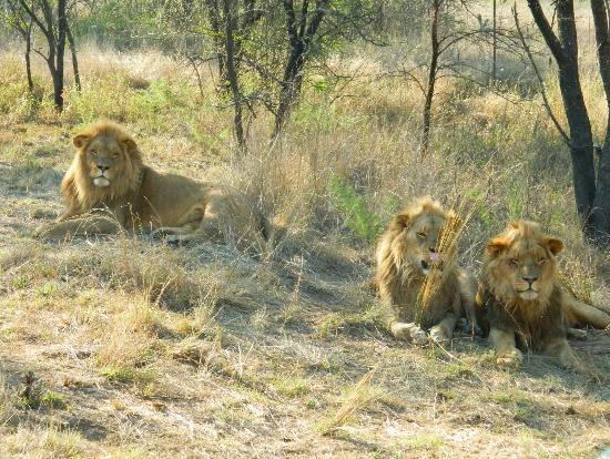 Protea Hotel by Marriott Ranch Resort: Some of the lions