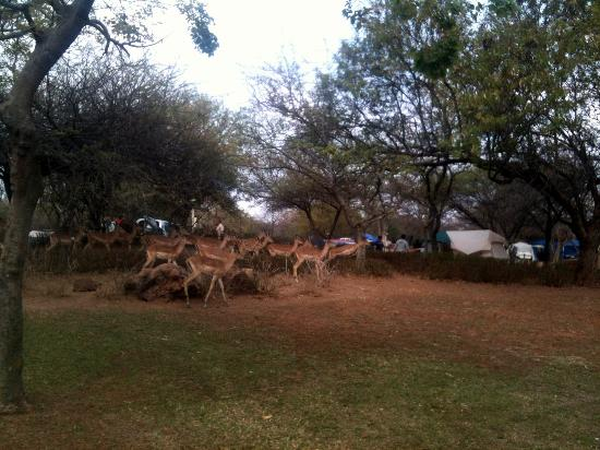 Golden Leopard Resort - Manyane: Impala herd near the campgrounds