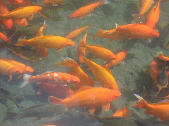Ouray Hot Springs Pool: Goldfish in Hot Springs Park
