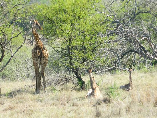Protea Hotel by Marriott Ranch Resort: Giraffe