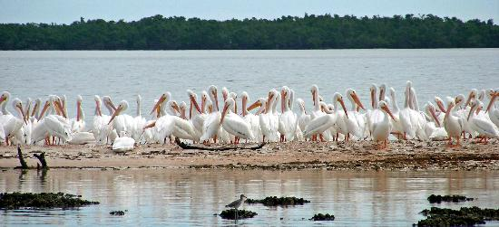 Focus One Fishing Charters: WHITE PELICANS OF THE ISLANDS