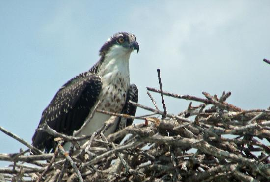 Focus One Fishing Charters: OSPREY  looking out for mate to bring food