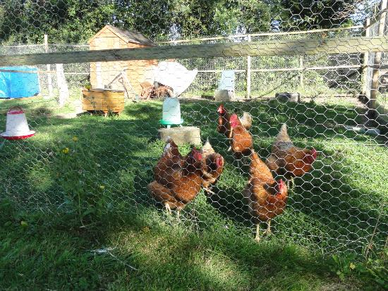 Homelands Bed and Breakfast: Chickens, I believe supplies the breakfast eggs