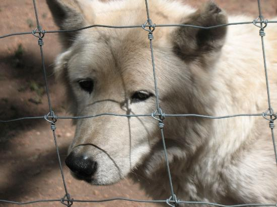 Colorado Wolf and Wildlife Center: Look at how beautiful