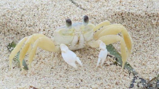 Iberostar Rose Hall Beach Hotel : Sand Crab
