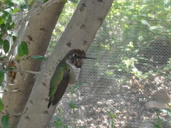 Arizona-Sonora Desert Museum: Hummingbird at museum