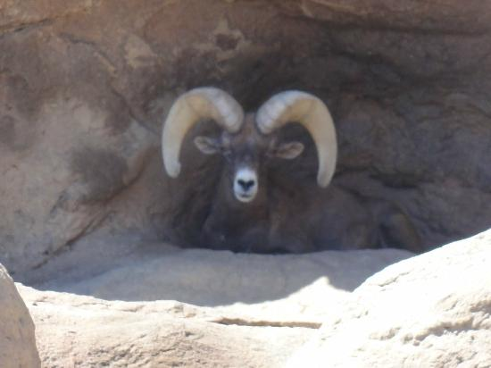 Arizona-Sonora Desert Museum: Big Horn Sheep at museum