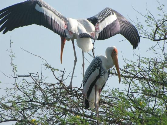 ‪‪Keoladeo National Park‬: Painted Stork‬