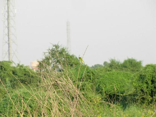 Keoladeo National Park: Green Bird