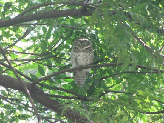Keoladeo National Park: Owl