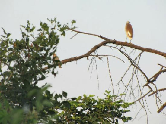 Keoladeo National Park: Dove