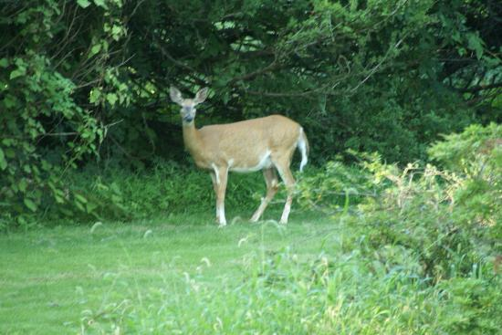 Chrystie House Bed and Breakfast: Another deer in the morning