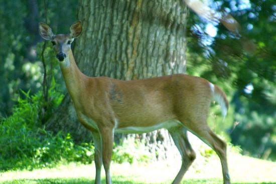 Chrystie House Bed and Breakfast: Deer in the morning