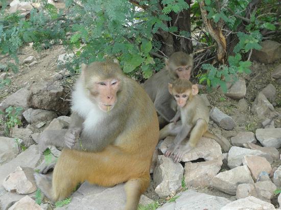 Monkey Temple (Galta Ji): Galwar Bagh