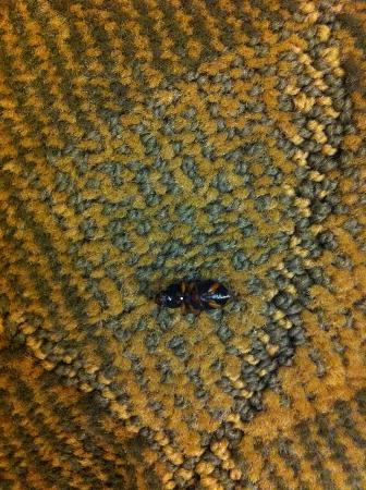 Best Western Cades Cove Inn: One of the black bugs we kept finding/killing in our room