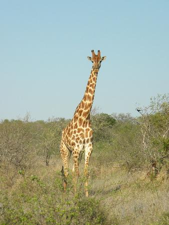 Kings Camp: giraffe