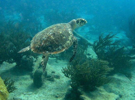BAS Diving: Hawksbill turtle