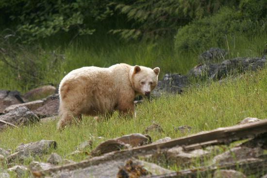 Shearwater Resort & Marina: The Spirit (Kermode) Bear