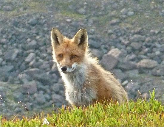 St. Elias Alpine Guides: Fox in camp