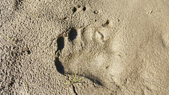 St. Elias Alpine Guides: Bear Paw print