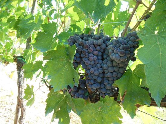 بودير إل بوتجولو: 庭の葡萄 