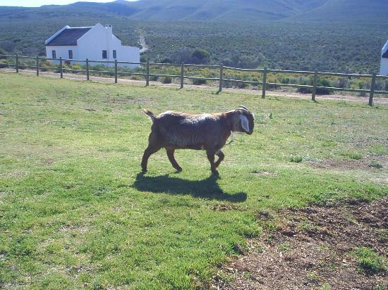 African Game Lodge: Mildred the goat