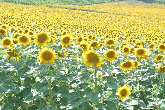Emilian Land Tour: Sunflowers