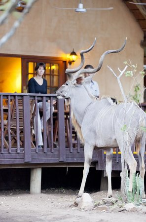 Needles Lodge: Kudu visiting