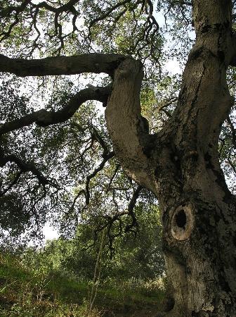 Santa Monica Mountains: A mighty oak - Solstice Canyon