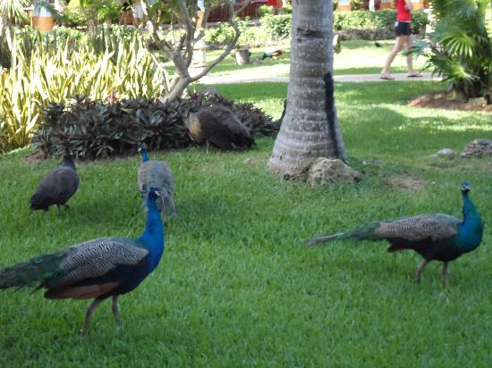 Iberostar Paraiso del Mar: Peacocks
