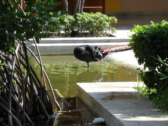 IBEROSTAR Paraiso Del Mar: Black Swan