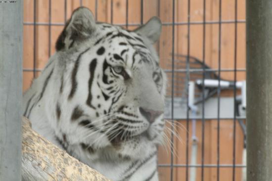 Cougar Mountain Zoo : white tiger