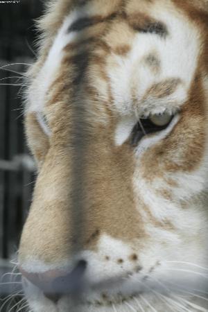 Cougar Mountain Zoo : tabby tiger