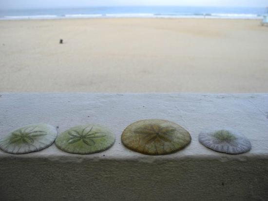 Sandcastle Inn: Sand dollars