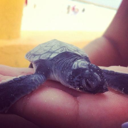 Fiesta Americana Condesa Cancun All Inclusive: the baby turtle we release (there was about 200)
