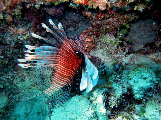 Taiana's Resort: Lionfish on Uoleva Reef