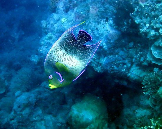 Volivoli Beach Resort Fiji: Adult Semi-Circle Angelfish