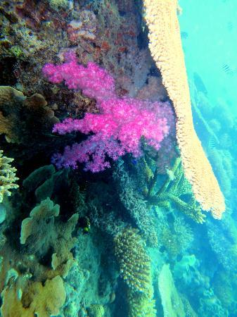 Volivoli Beach Resort Fiji: Pink soft Coral