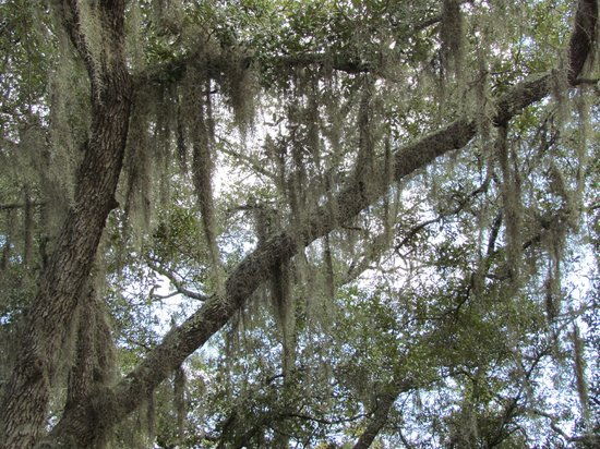 Conservation Park: Spanish Moss Drapes the Trees in the Park