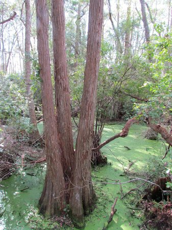 Conservation Park: Gorgeous Cypress Trees