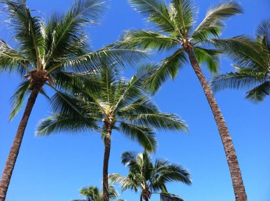 Pukalani Country Club: great palms everywhere