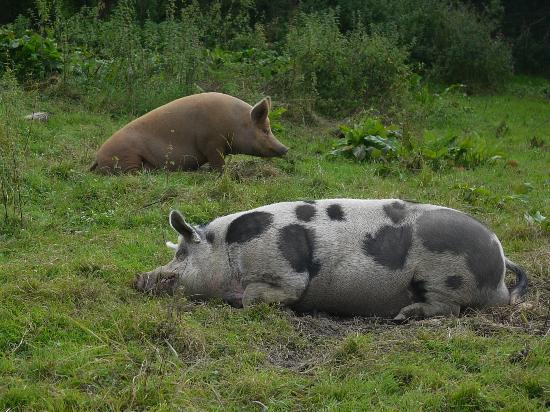 Lawcus Farm Guest House: Pigs on the farm
