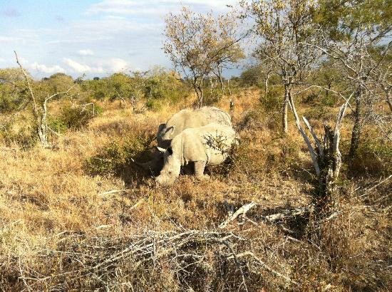 Big Six Tour Safaris: Mama and baby rhino spotted while on safari outside Kruger Park.