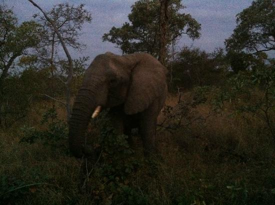 Big Six Tour Safaris: We surprised an elephant just after sunset in a private game reserve outside Kruger Park.