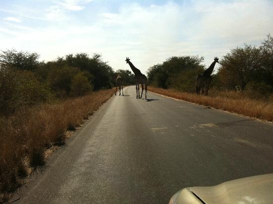 Big Six Tour Safaris: Giraffes crossing the road in front of our vehicle in Kruger Park.