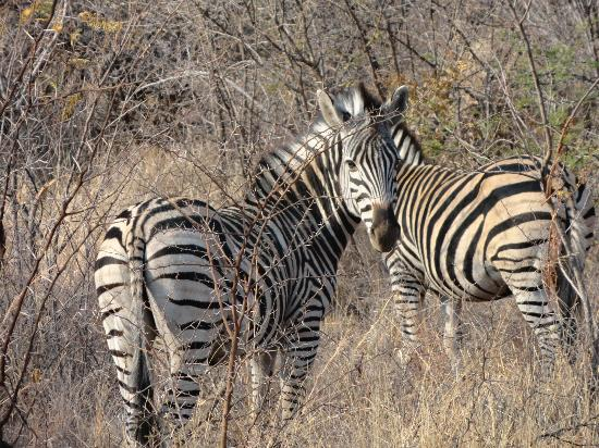 The Palace of the Lost City: zebras on safari