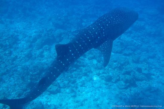 Conrad Maldives Rangali Island: whale-shark